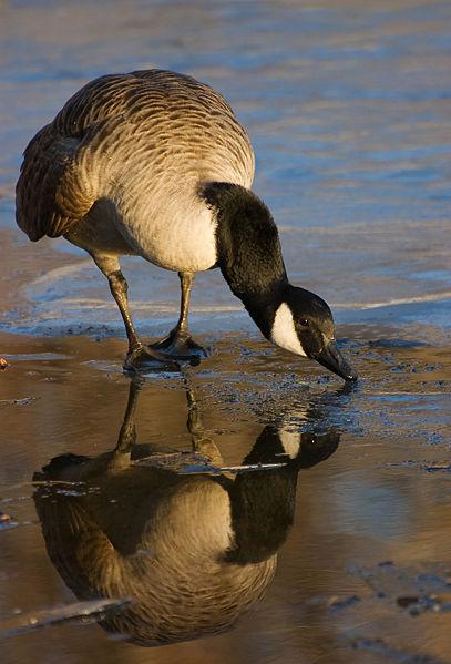 Wikipedia-canada-goose